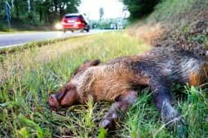 Wild angefahren: Wildunfall auf Landstraße